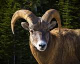 Big Horn Mountain Sheep