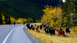Cattle Drive near the Highwood Pass