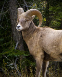 The Mighty Big Horn Sheep