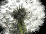 3-13-2011 Lighted Dandelion 1.jpg