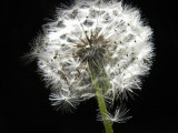 3-13-2011 Lighted Dandelion 2.jpg
