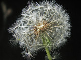 3-13-2011 Lighted Dandelion 3.jpg