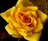 4-13-2011 Tiny Tea Rose.jpg