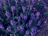 4-13-2011 Purple Flowers.jpg