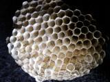 10-7-2010 Paper Wasp Nest 4.jpg