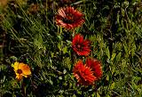 4-2010 Wildflowers A.jpg