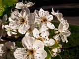 3-5-2012 Bradford Pear Tree flowers.jpg