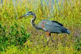10-2005 Blue Heron.JPG