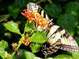 swallowtail3.JPG