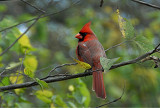 Immature male cardinal