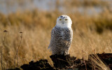 Snowy Owls *all galleries*