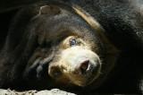 Sun bear sunning