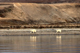 Polar bears...