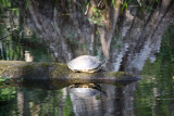 Turtle on Cypress Swamp Trail