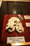 Two-Headed Calf Skull