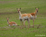 Pronghorn looking sad