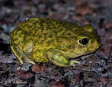 Couch's Spadefoot (Scaphiopus couchi)
