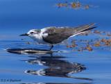 immature Bridled Tern