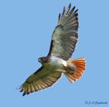 Red-tailed Hawk (B.j. fuertsii)