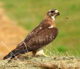 adult Swainson' Hawk (and odonate)