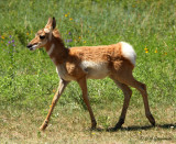 young pronghorn