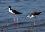 Black-necked Stilt with young