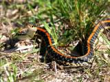 Looks like a Texas Garter Snake