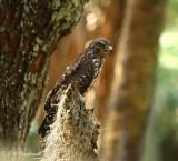 Red shouldered Hawk immature