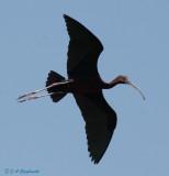 Plegadis ibis hybrid--banded