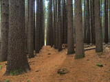 Sugar Pines 1928 -