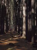 Hiker in the Sugar Pines