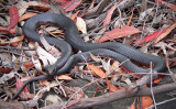 Red Belly Slithery Thingo