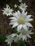 Native Flower - Flannel Flower 1