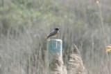Delta Llobregat 6-4-2012 Redstart male.jpg