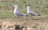 Audouin's Gull (Ichthyaetus audouinii) Delta Llobregat, Barcelona