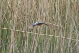Delta de l'Ebre 2-4-2012 Kingfisher .JPG