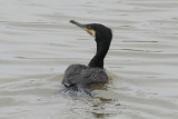 Great Cormorant (Phalacrocorax carbo) Delta de l'Ebre - Catalunya