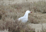Audouin's Gull (Ichthyaetus audouinii) Delta de l'Ebre, Spain