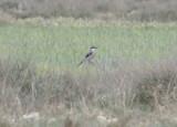 Iberian Grey Shrike (Lanius meridionalis meridionalis) Lleida, Catalunya