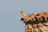 Stock Pigeon (Columba oenas) Lleida steppe