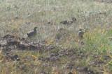 Pintailed Sandgrouse (Pterocles alchata) Lleida Steppe