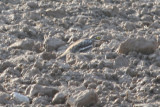 Eurasian Stone-curlew (Burhinus oedicnemus) Lleida plains, Catalunya 6-4-2012.JPG