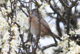 Subalpine Warbler ssp iberiae (Sylvia cantillans iberiae) Baga - Pyrenees