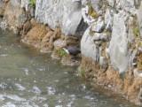 Red-bellied Dipper (Cinclus cinclus aquaticus) Baga Pyrenees 5-4-2012.JPG