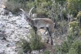 South-eastern Spanish Ibex (Capra pyrenaica hispanica) Montserrat, Catalunya