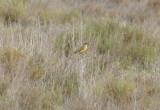 Ashy Headed Wagtail (Motacilla flava cinereocapilla) Delta de l'Ebre.JPG