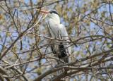 Grey Heron (Ardea cinerea) Barcelona Zoo, wild breeding colony