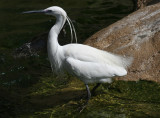 Little Egret (Egretta garzetta) Barcelona, Barcelona Zoo, wild breeding colony