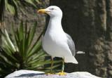 Yellow Legged Gull (Larus michahellis michahellis) Barcelona