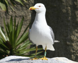 Yellow Legged Gull (Larus michahellis) Barcelona